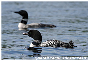 Common Loons - Maine