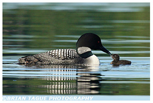 COMMON LOON feeding Chick