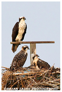 Osprey with nestlings