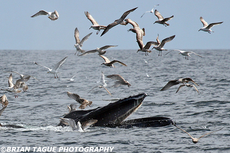 Humpbacks - Feeding
