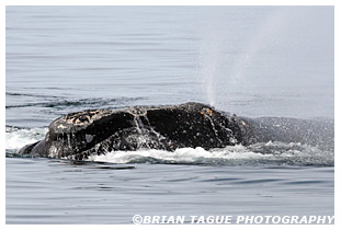 Northern Right Whale spouting