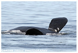 Northern Right Whale pectoral flippers