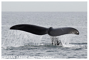 Northern Right Whale fluke