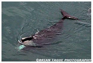 Northern Right Whale feeding