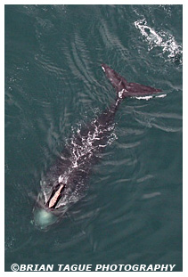Northern Right Whale aerial
