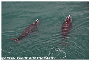Northern Right Whales aerial