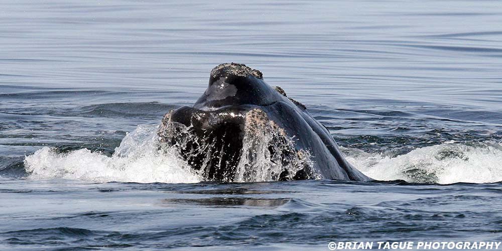 RightWhale-423_3602-crp1