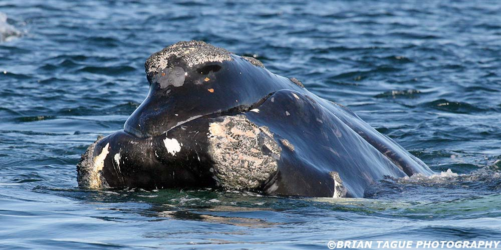 RightWhale-426_0381