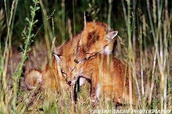 RedFoxes-496-10-150-4