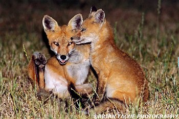 RedFoxes-496-14-150-4