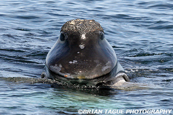 RightWhale-422_4548-crp